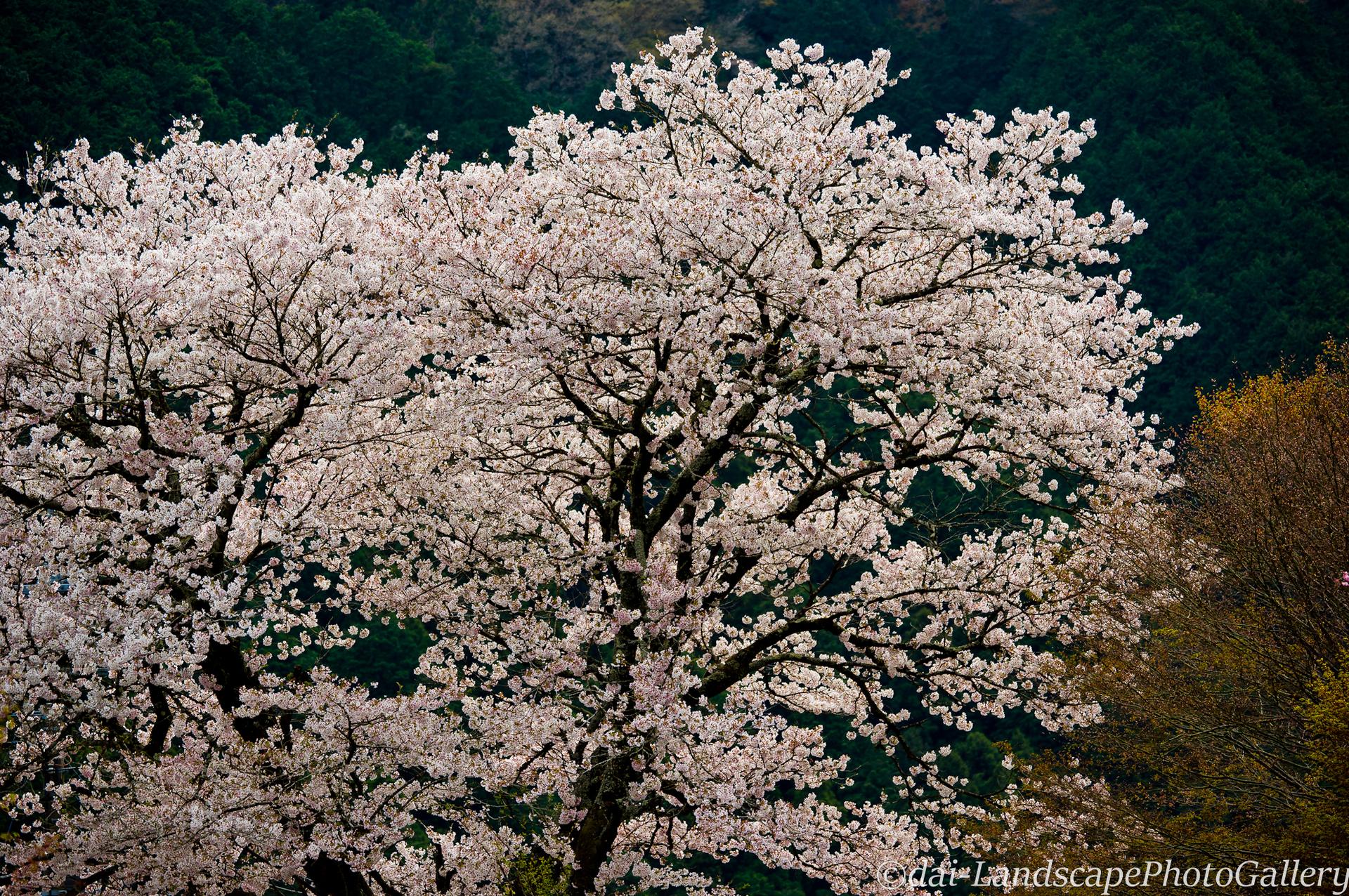 龍珠院の桜風景