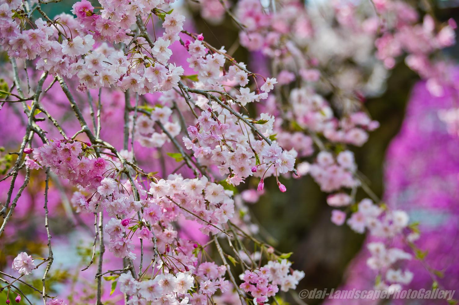 花の寺 龍珠院の春