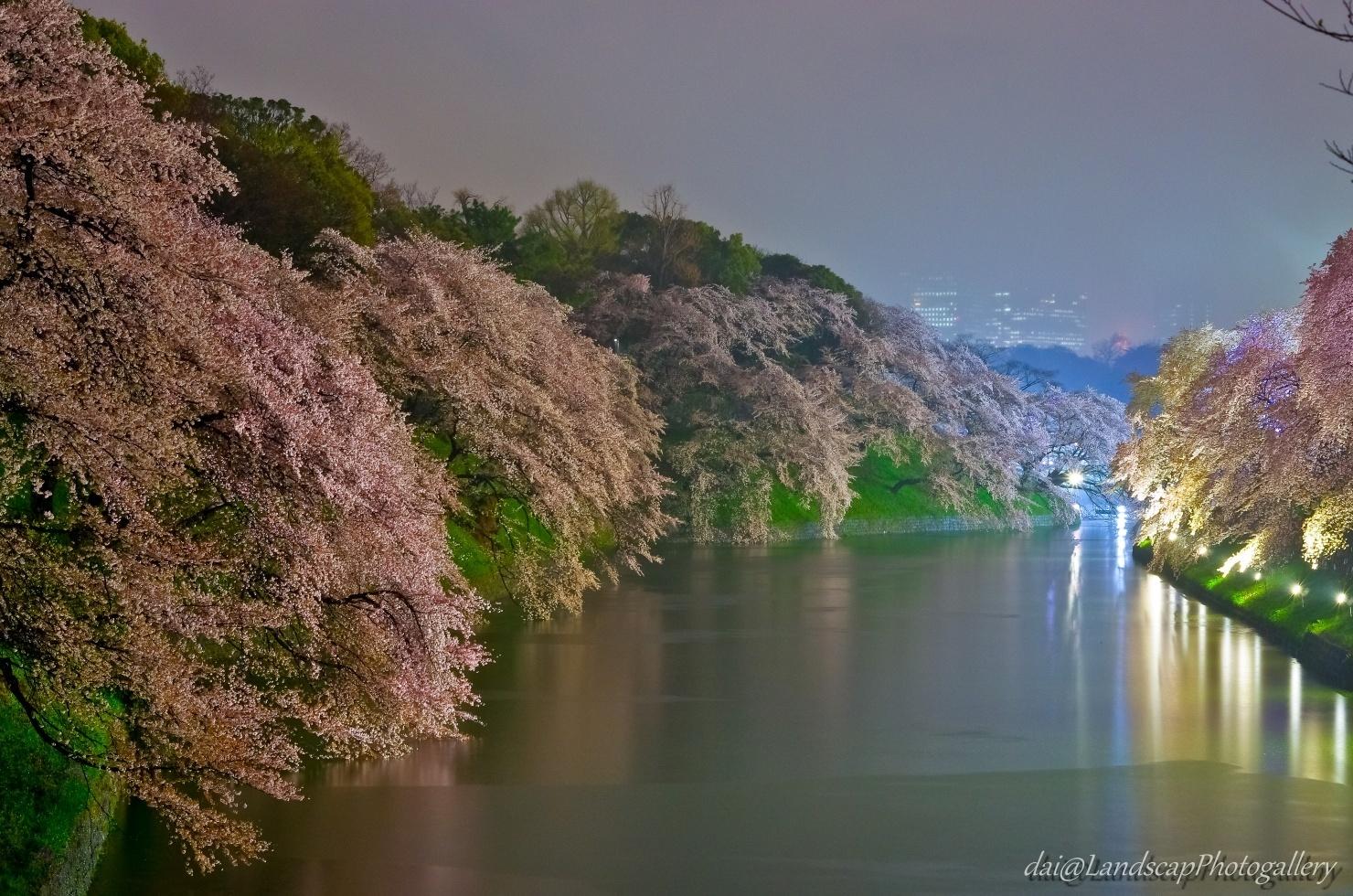 雨降る千鳥ヶ淵の夜桜