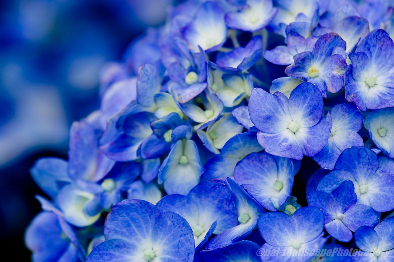 野見金公園の紫陽花