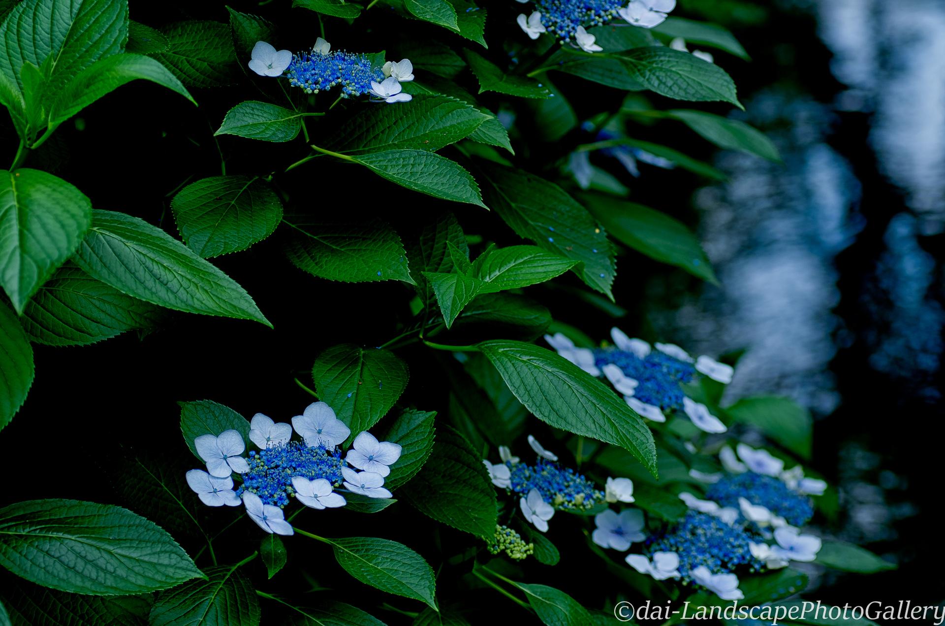 一之江境川親水公園の紫陽花