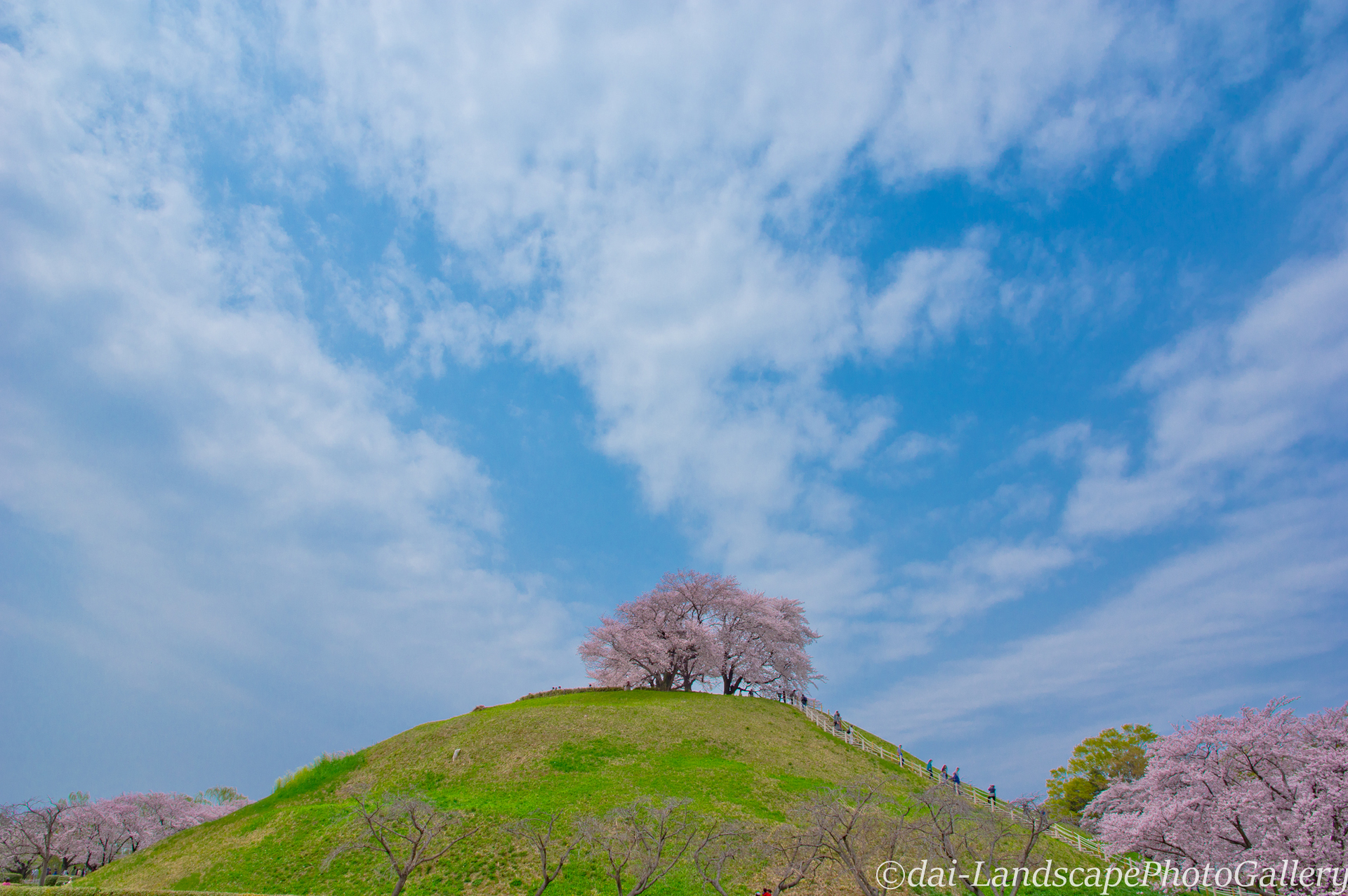 丸墓山古墳 桜風景