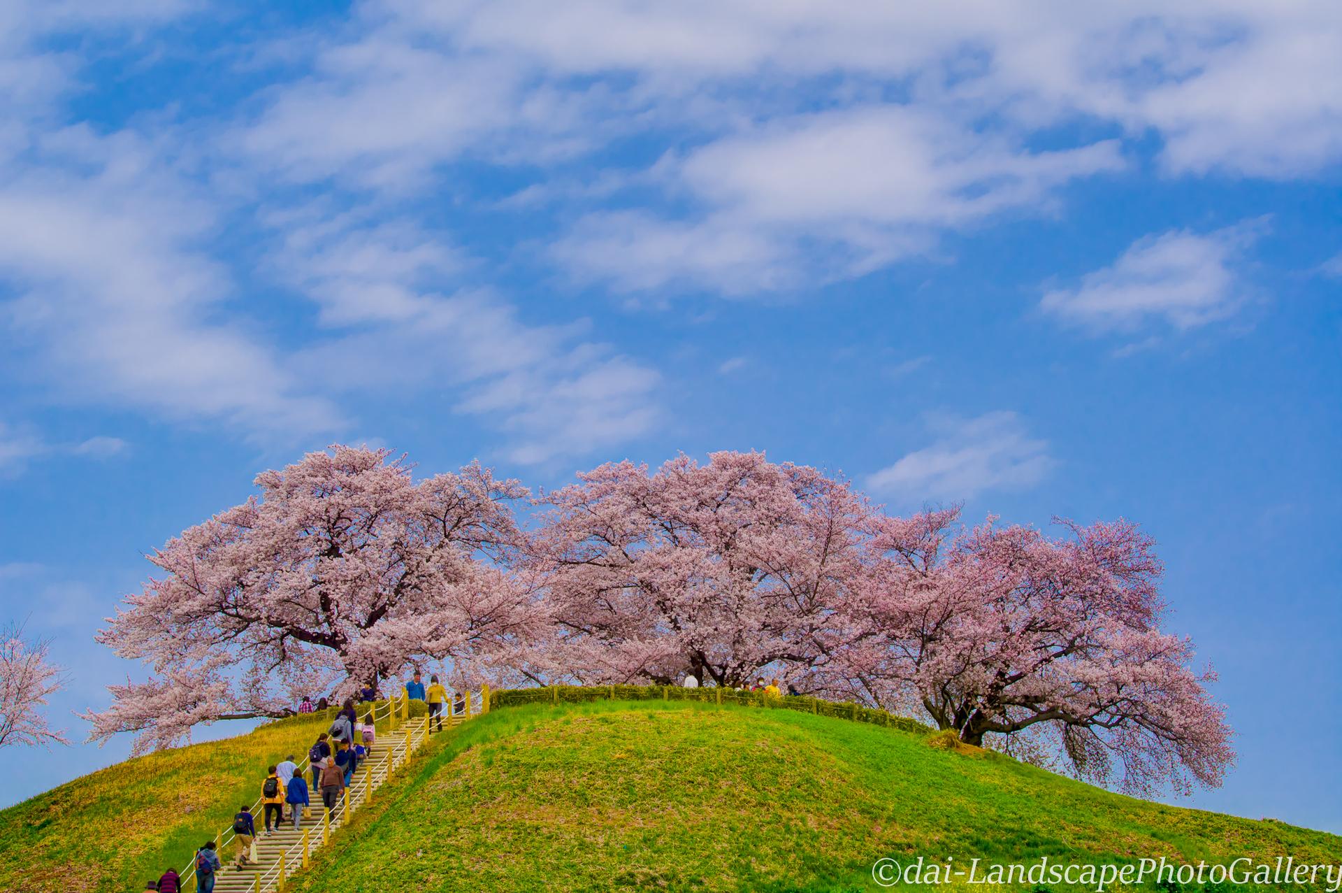 丸墓山古墳の桜風景【HDRi】