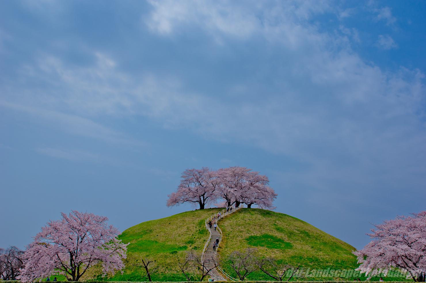 さきたま古墳公園の桜風景