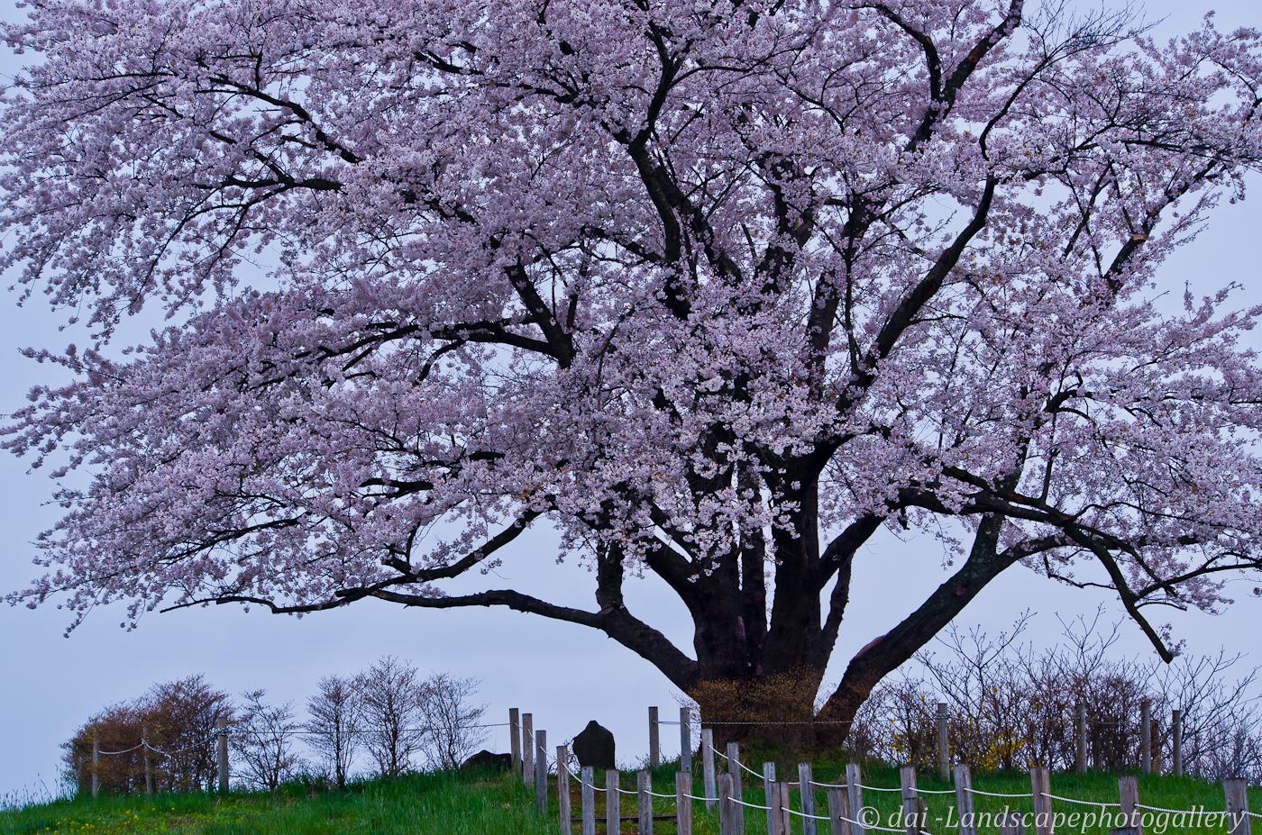 野駄・為内の一本桜