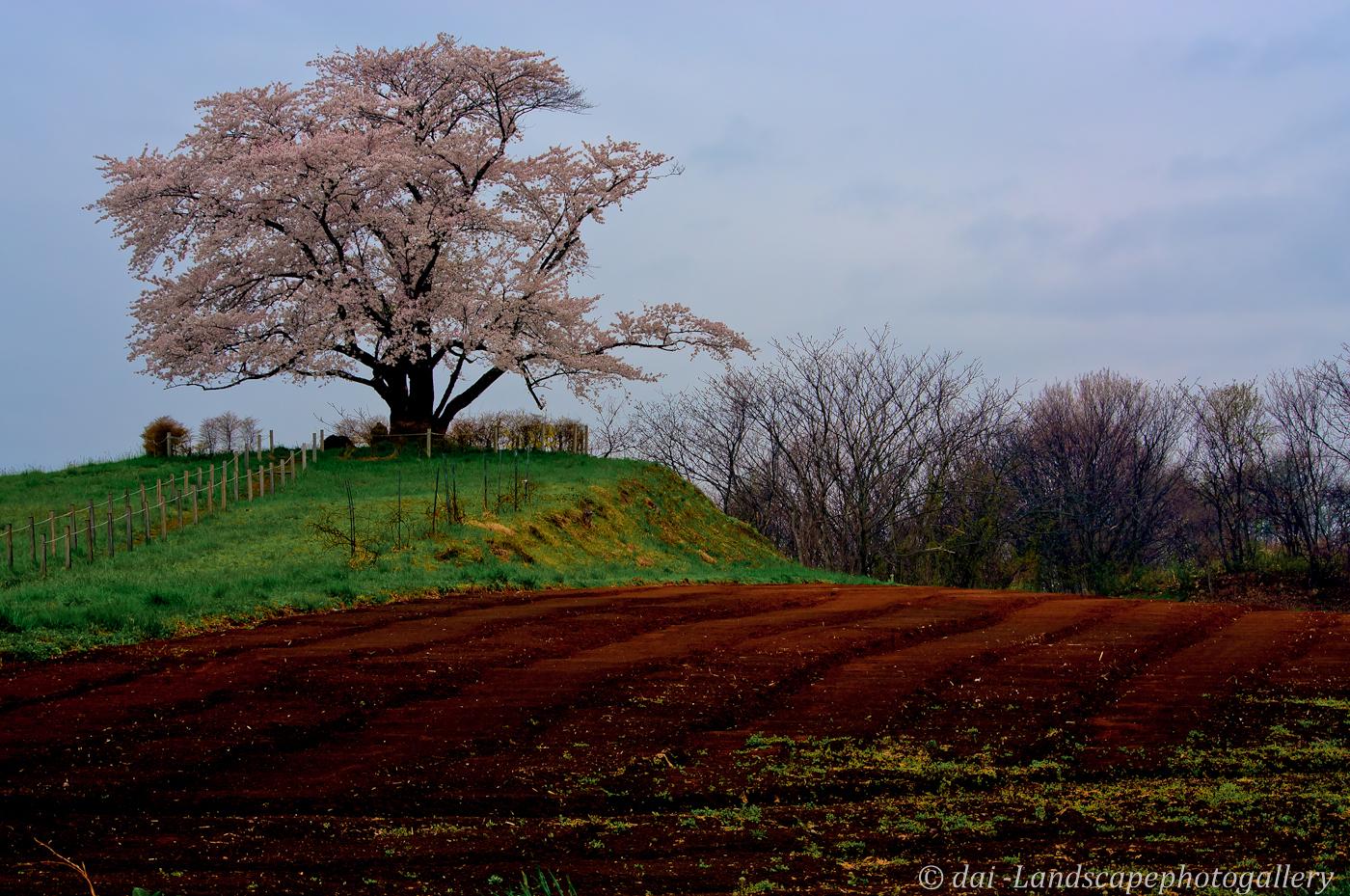 野駄・為内の一本桜【HDRi】