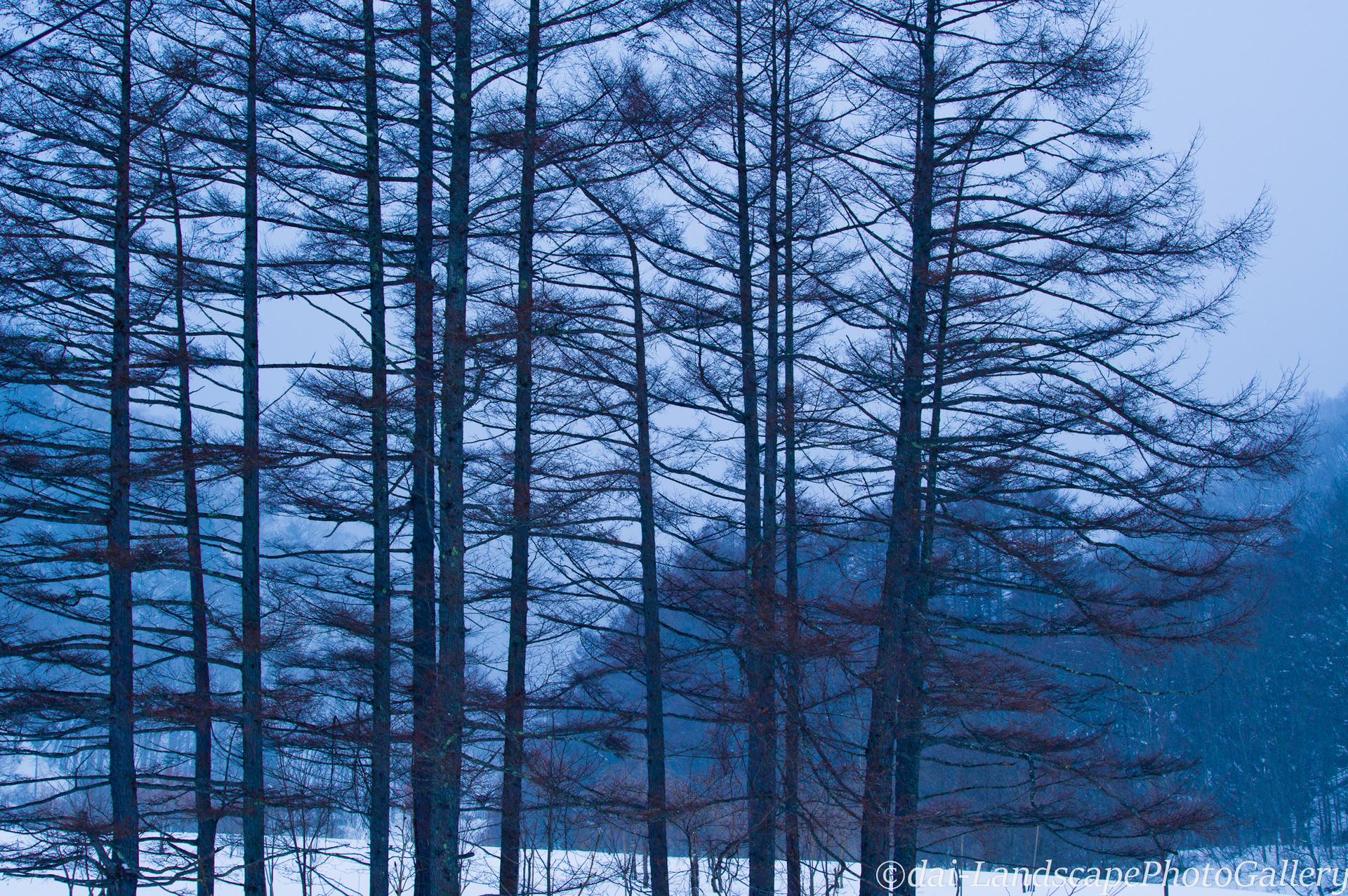 冬の落葉松