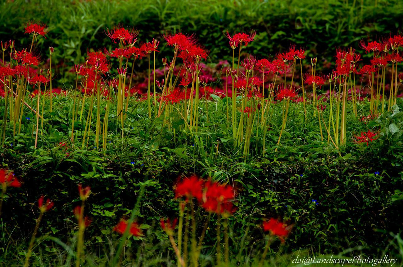 畦に咲くヒガンバナ