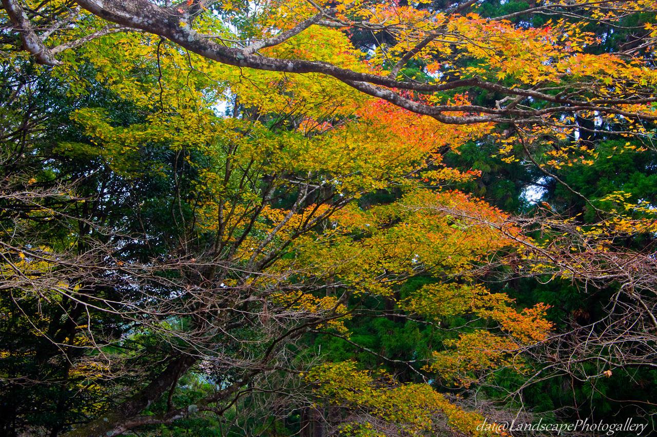 大山登山道沿いの紅葉