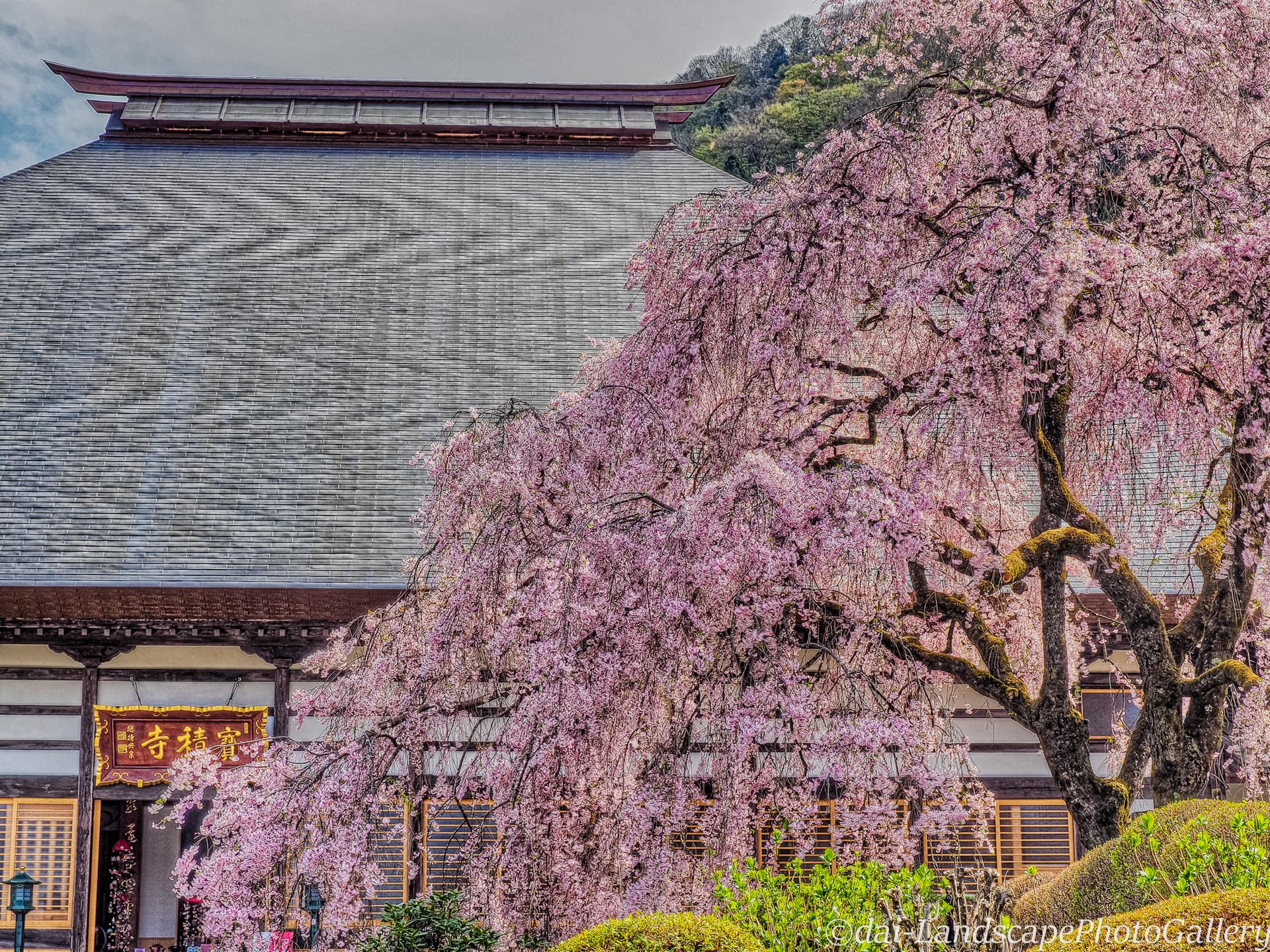 宝積寺の枝垂桜