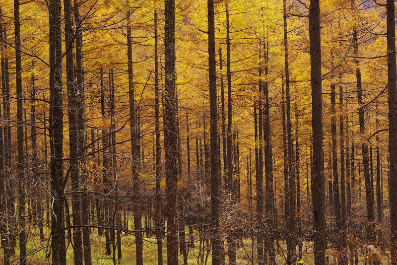 黄金色の唐松林