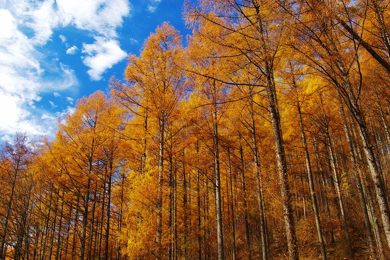 秋の唐松林を見上げて1