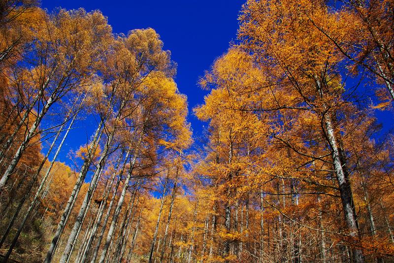 秋の唐松林を見上げて2