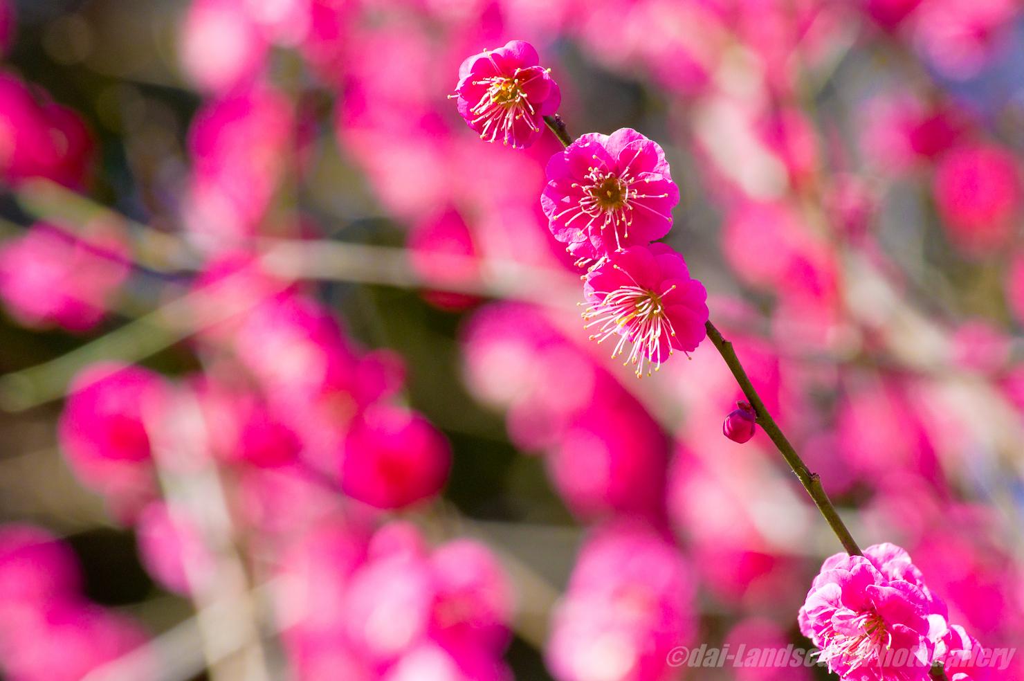 生田緑地の梅花