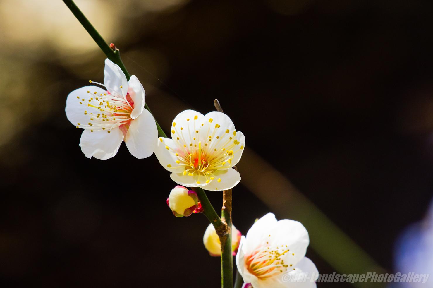 伊豆美神社の梅花