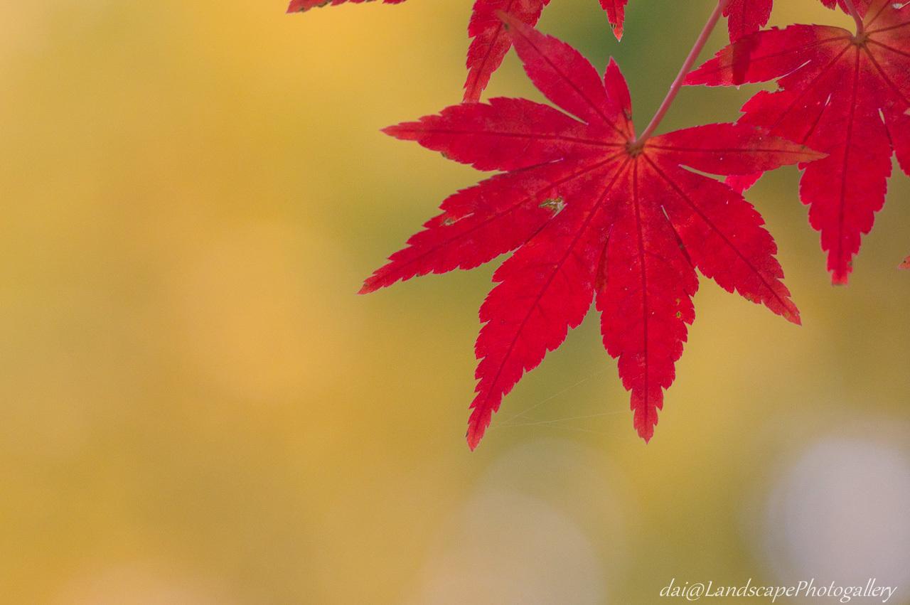 公園の楓紅葉