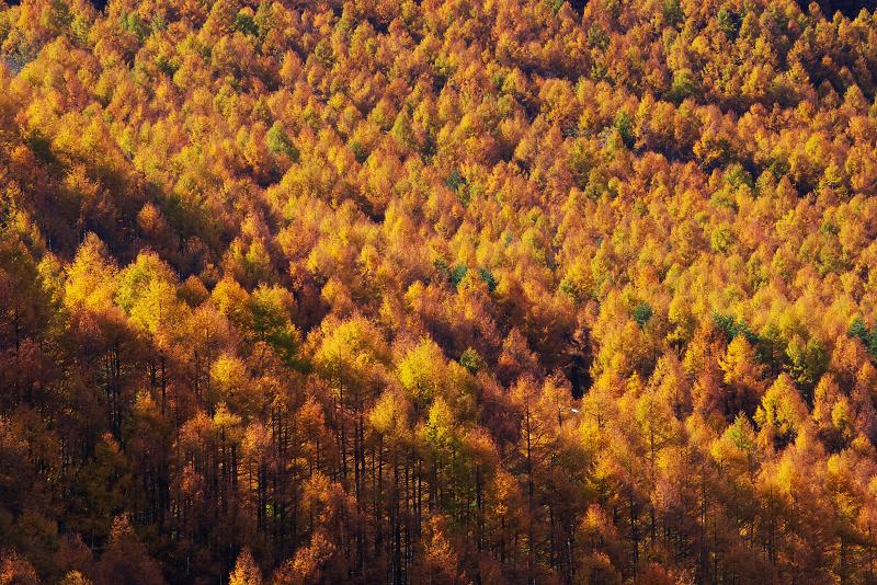 秋の唐松樹海