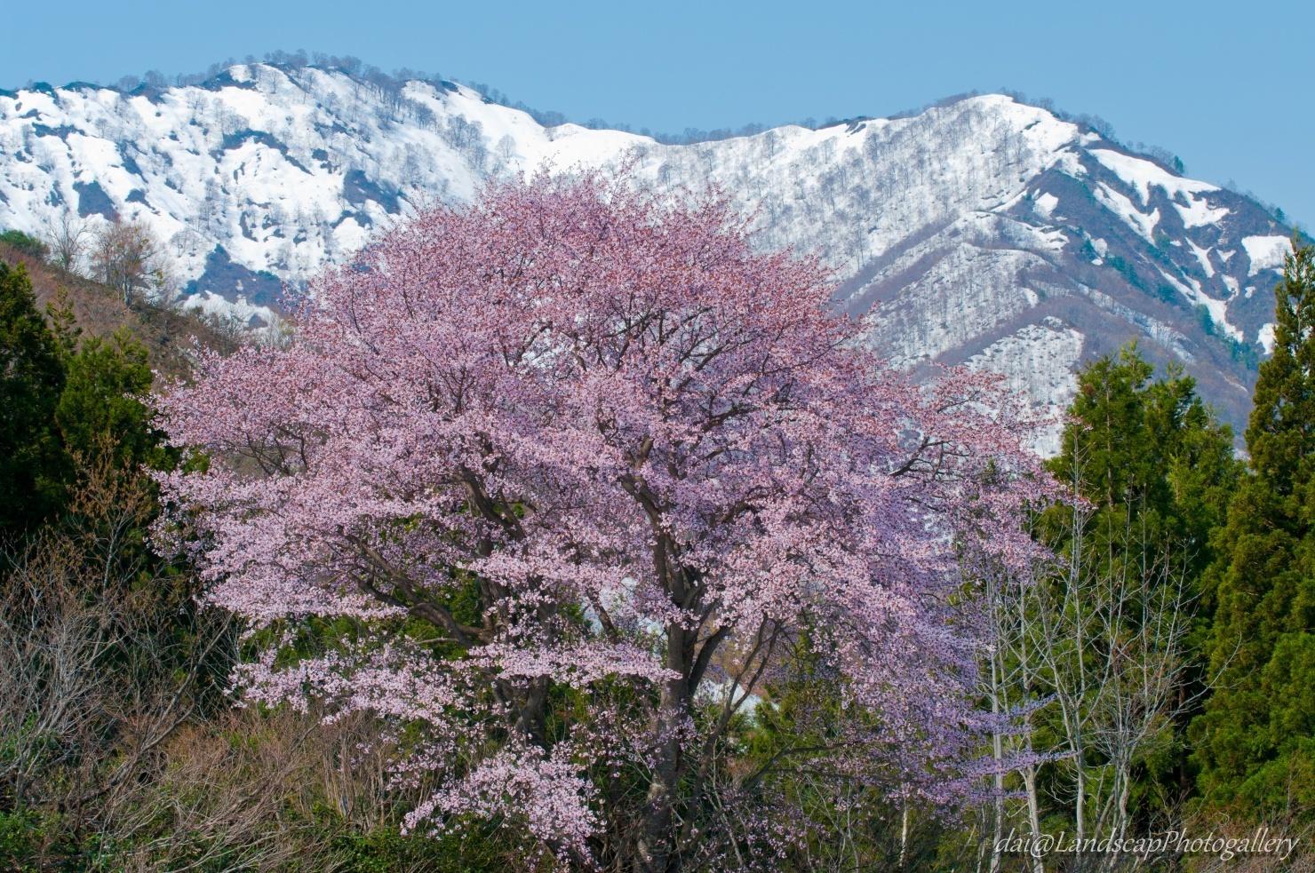 越後残雪の山と満開の桜