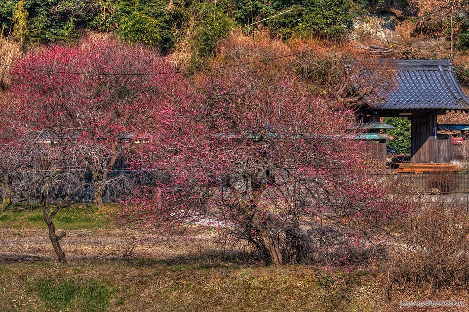梅のある風景【HDRi】