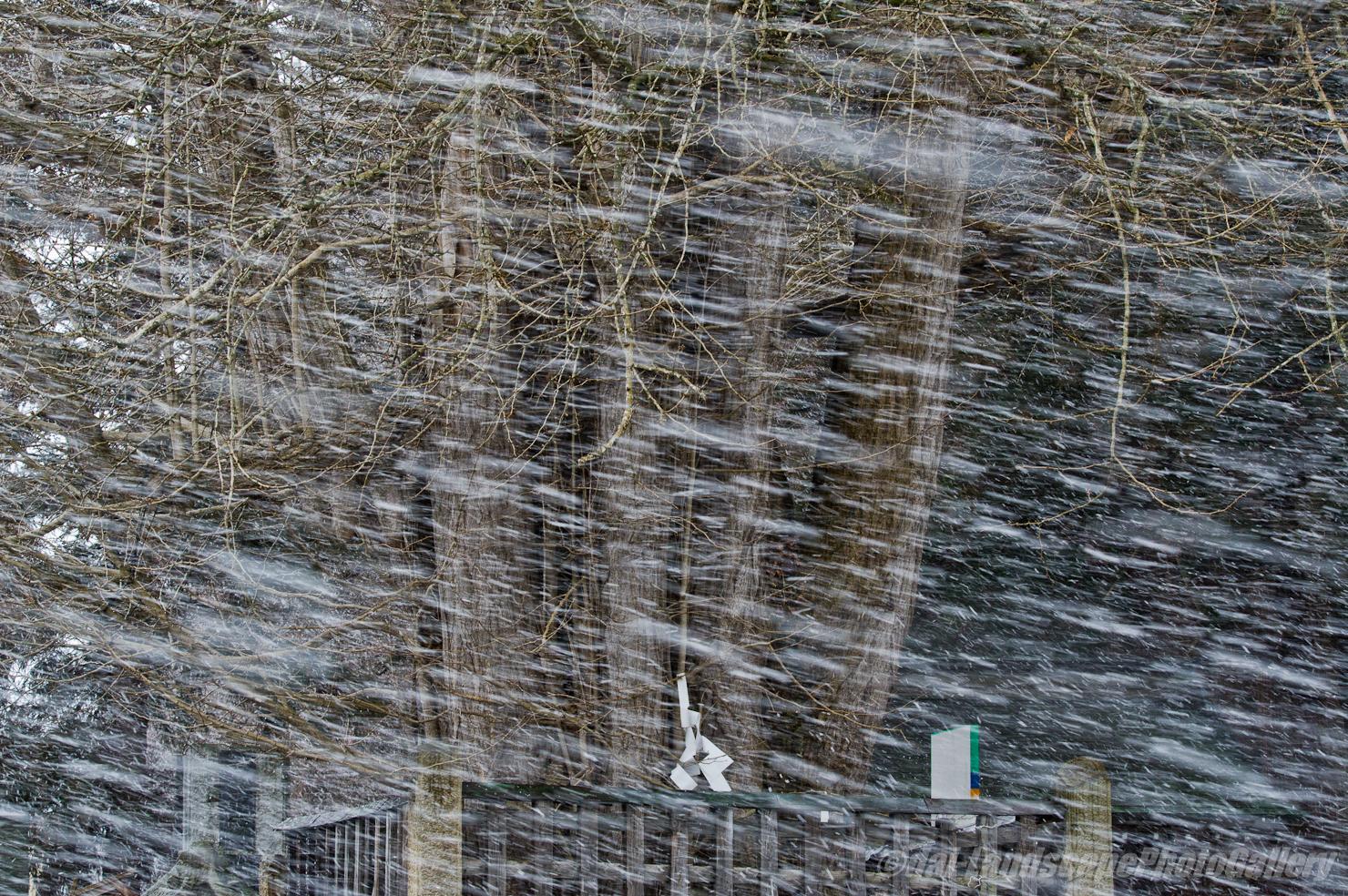 吹雪の中の御神木