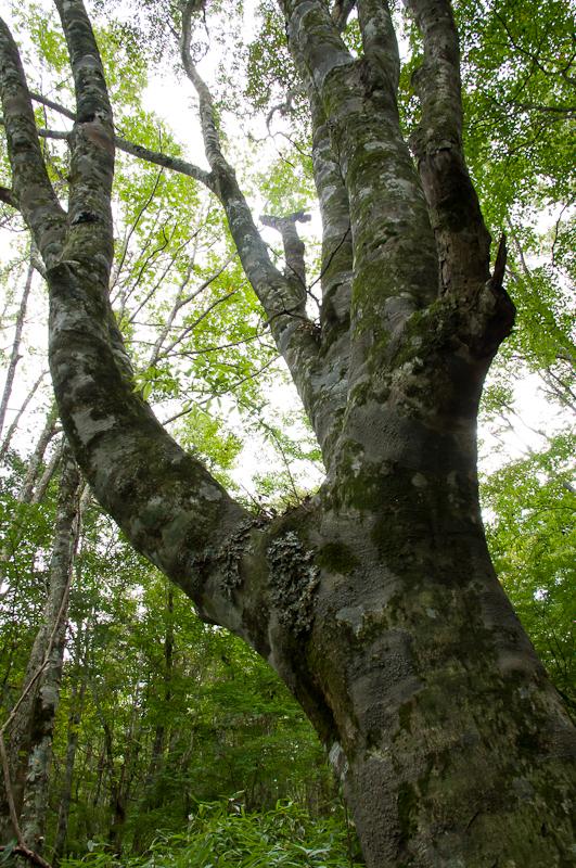 ブナの大木~茶臼山にて