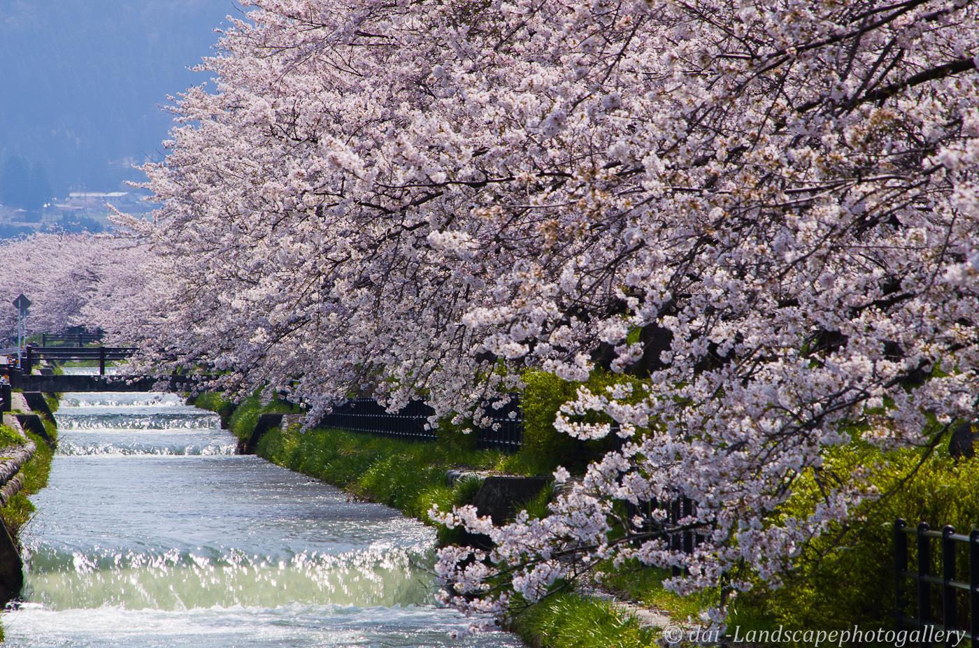 満開の桜並木~黒部川堤防桜堤にて