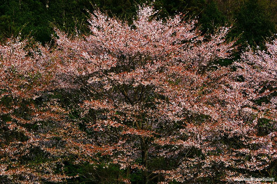 越生町の桜