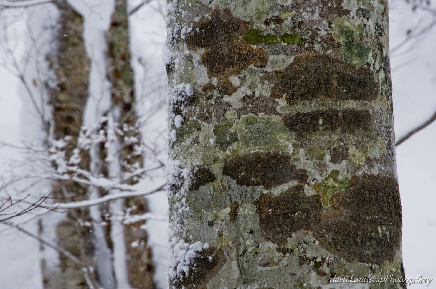 冬の山毛欅