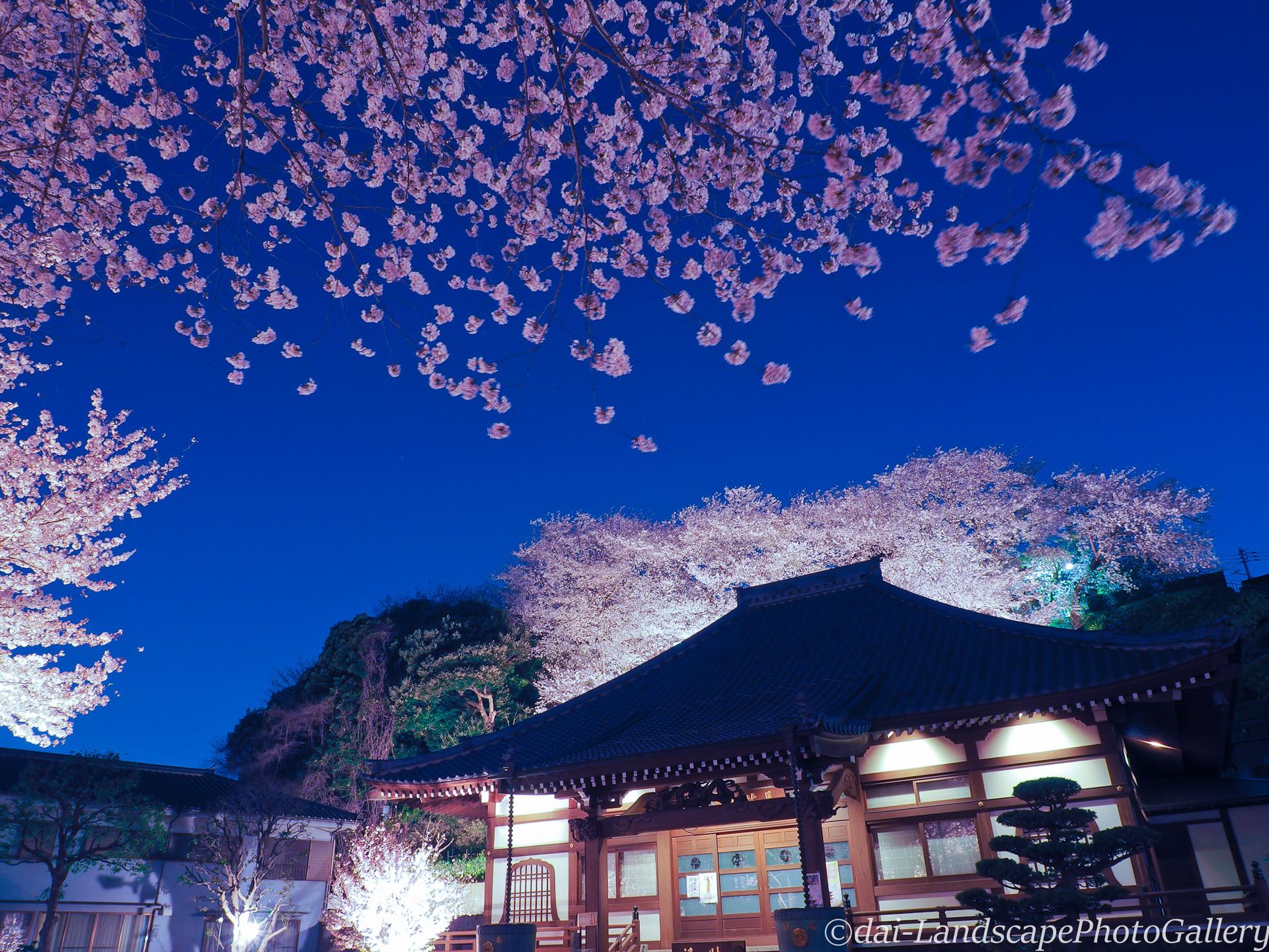池上養源寺 夜桜風景
