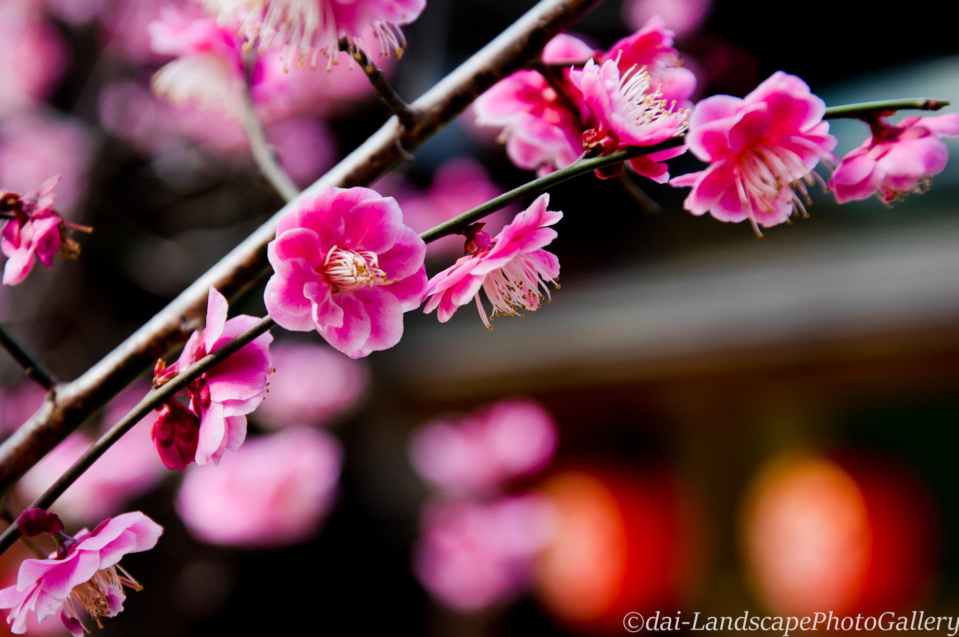 等々力不動尊の梅の花