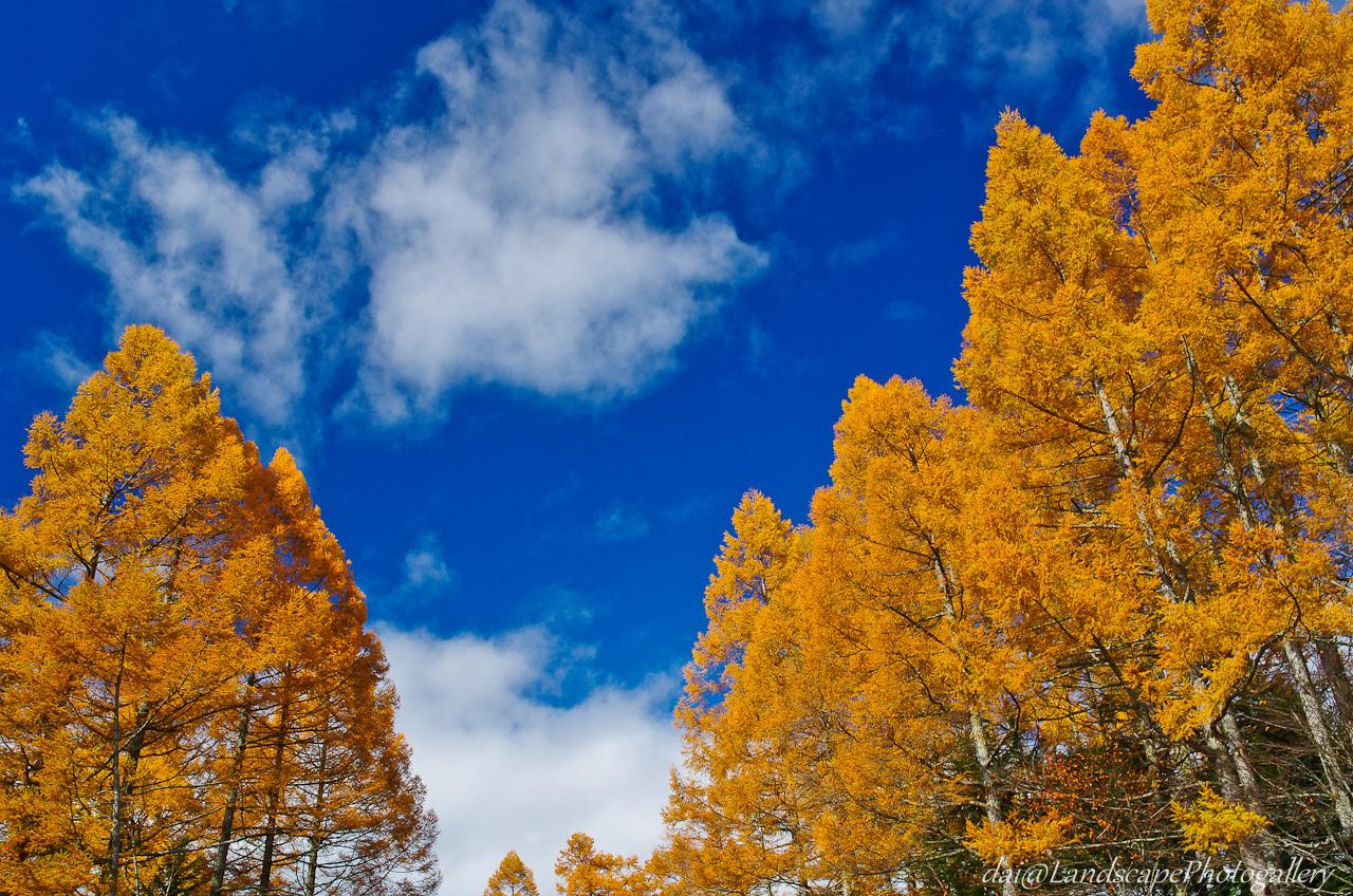 唐松の黄葉と青空