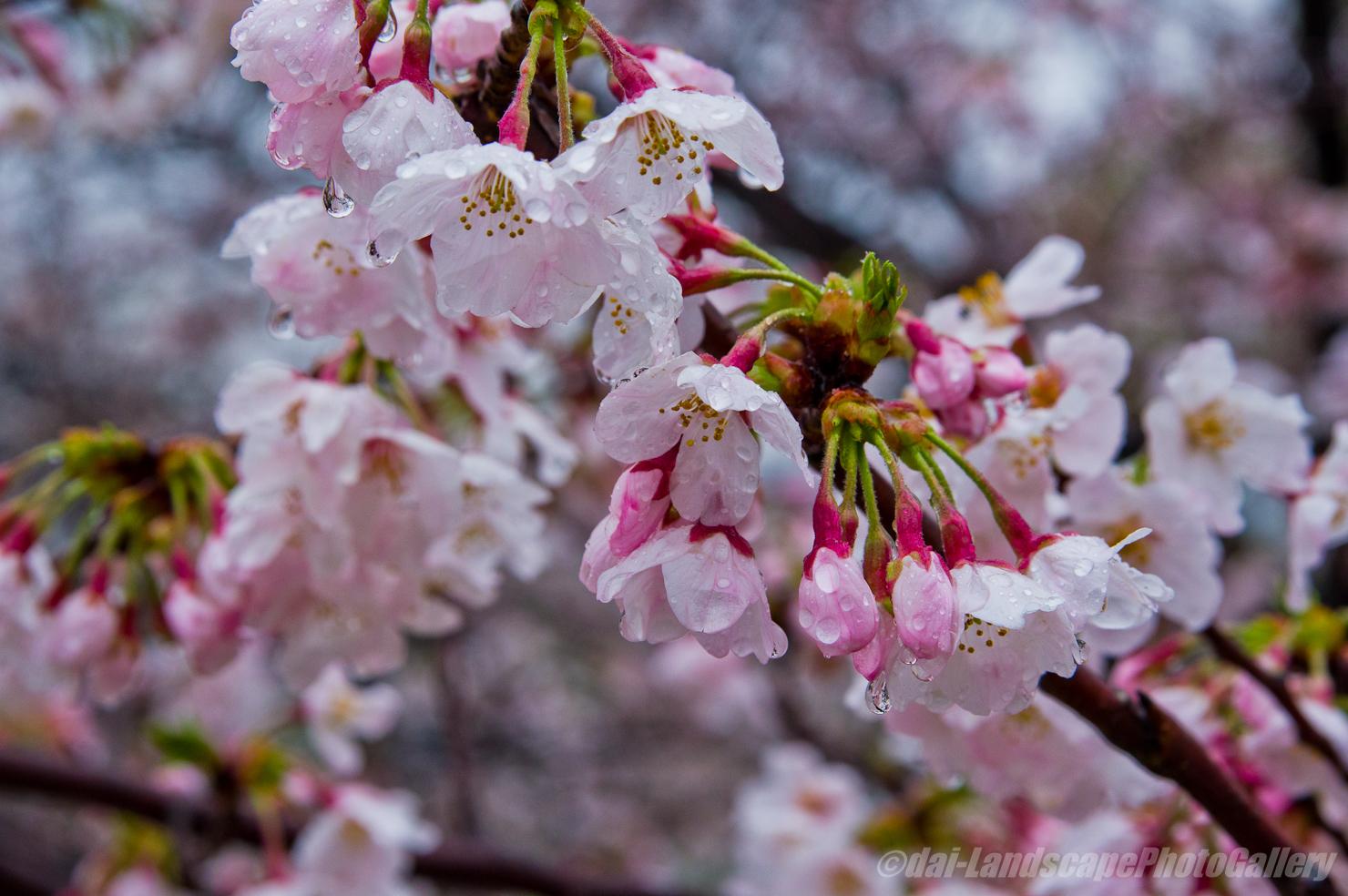 霙降る桜風景