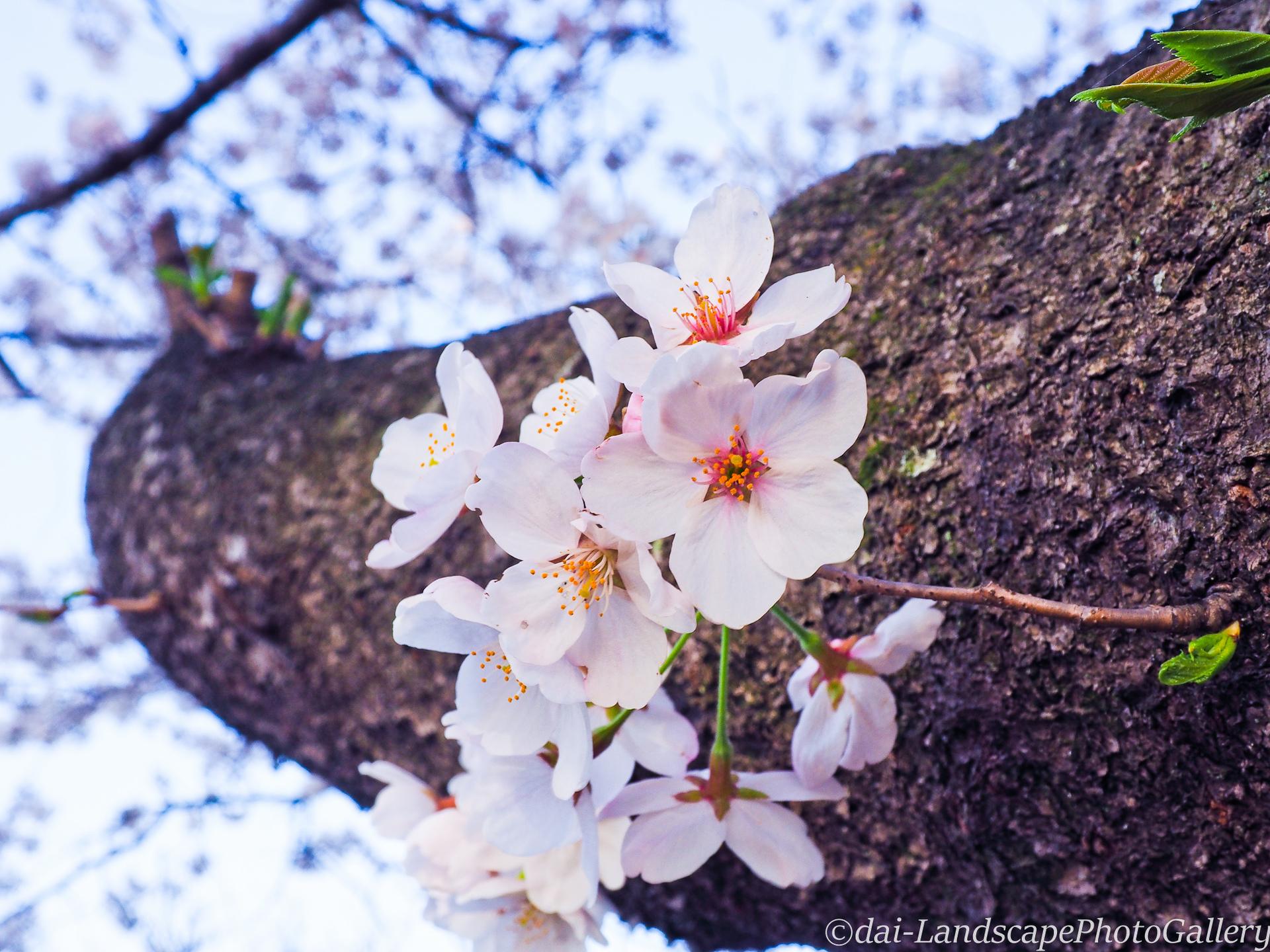 八幡宮前の桜並木にて