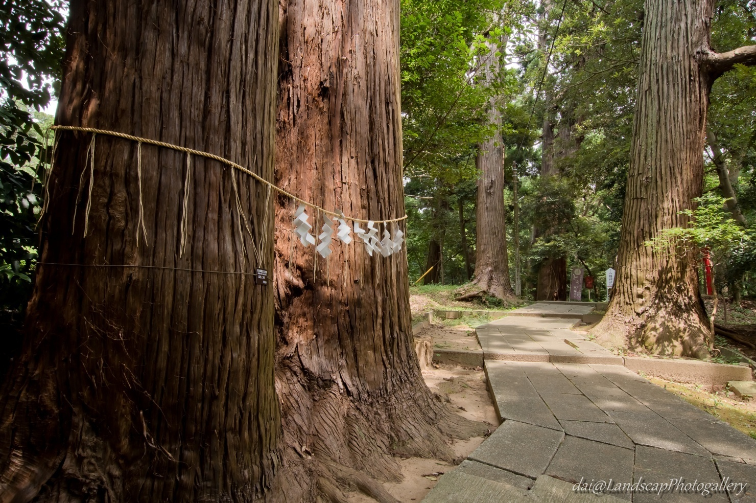 日吉神社(東金 山王様)参道の大杉