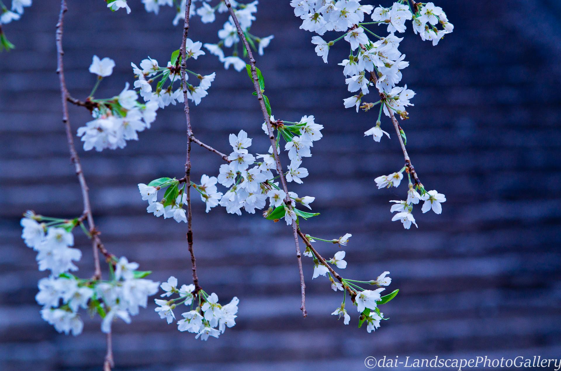 参道沿いの枝垂桜