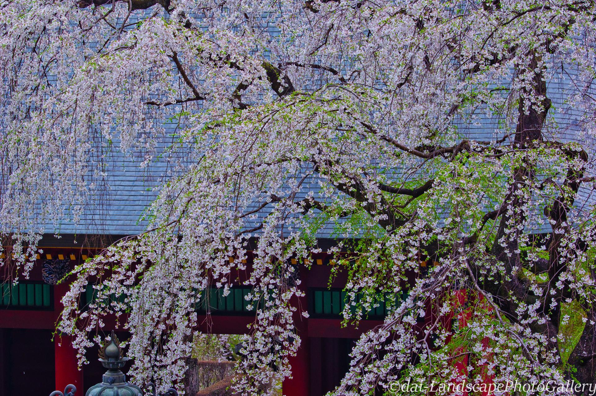 枝垂桜咲く妙義神社にて