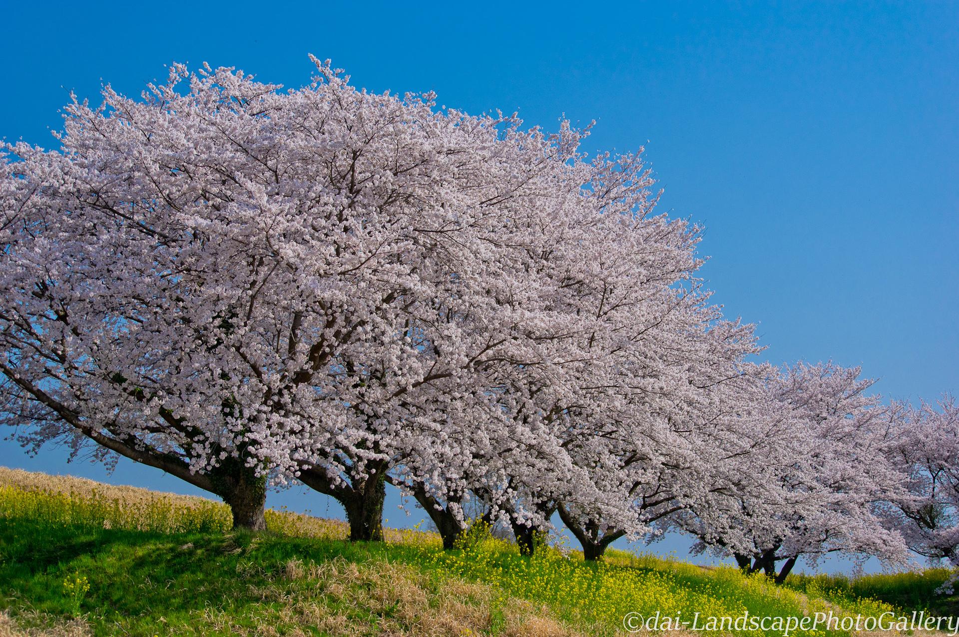 渡良瀬遊水地沿いの桜並木