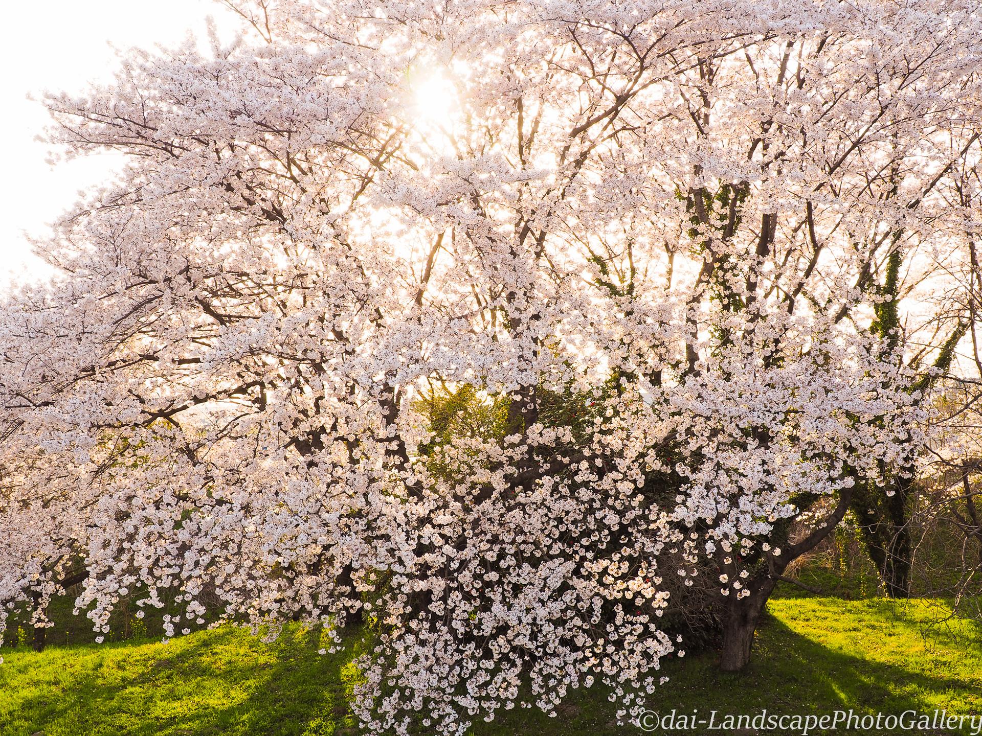 満開の桜と夕日