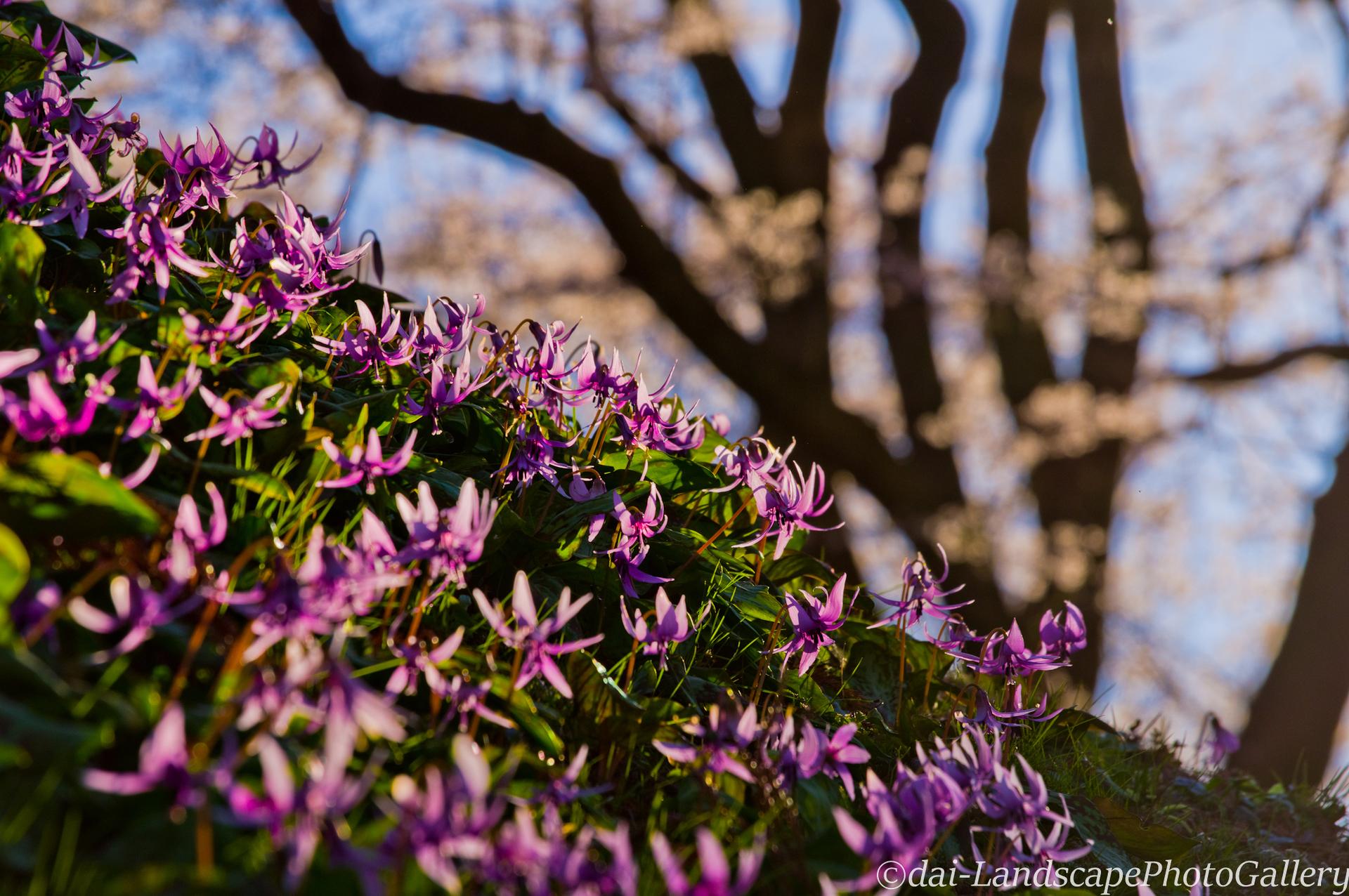 カタクリの花と氏邦桜